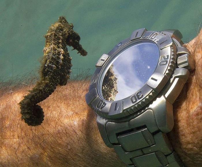 Морской конек изучает часы дайвера.