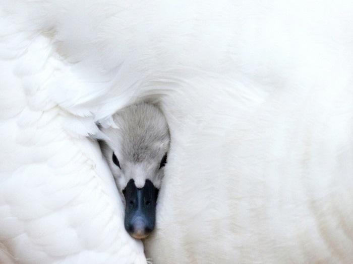 Молодой лебедь выглядывает из-под крыла матери в пруду в Миртл-Бич, Южная Каролина. Фотограф: John Halvorson.