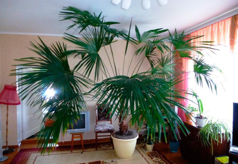 пальма комнатные цветы фото
