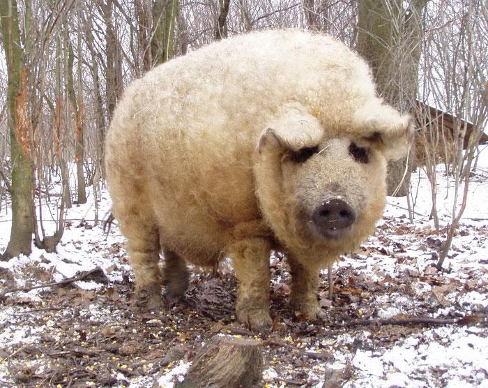 Свинка не похожа на всех остальных своих сородичей.
