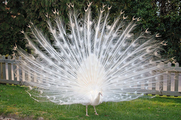 White Peacock blindness, animal world, creatures of our planet, facts