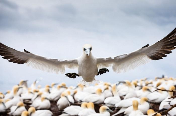 Северная олуша направляется на охоту. Квебек, Канада. Фотограф: Stephan Brauchli.