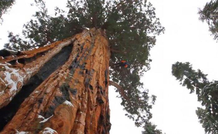 Дерево Президент никогда не удавалось сфотографировать полностью.