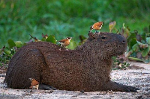 Капибары — самые дружелюбные животные (29 фото)