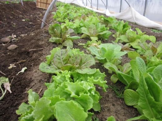 Салат, выращиваемый в теплице, под укрывным материалом