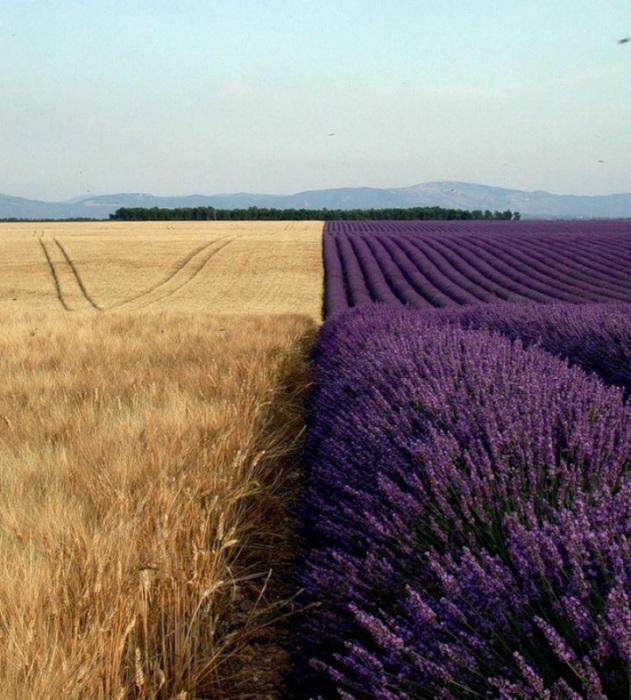 Два поля дают возможность насладиться необычным сочетанием ярких цветов.