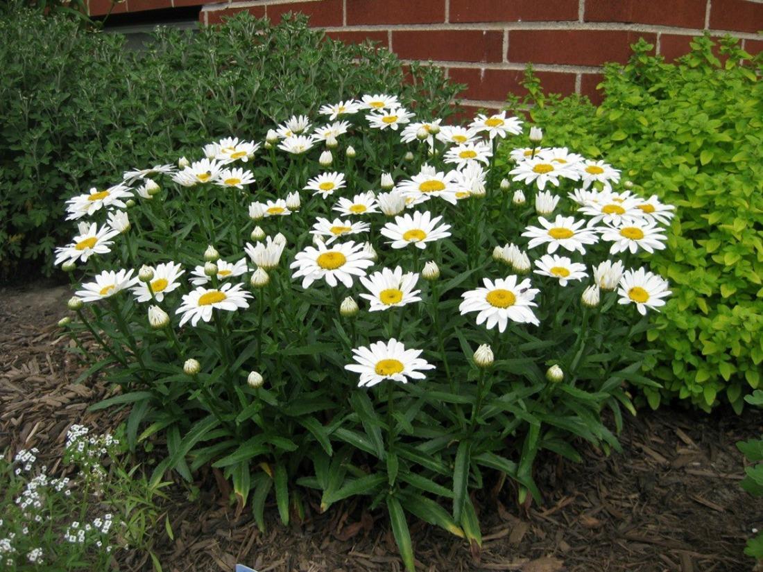 Как сажать леукантемум семенами