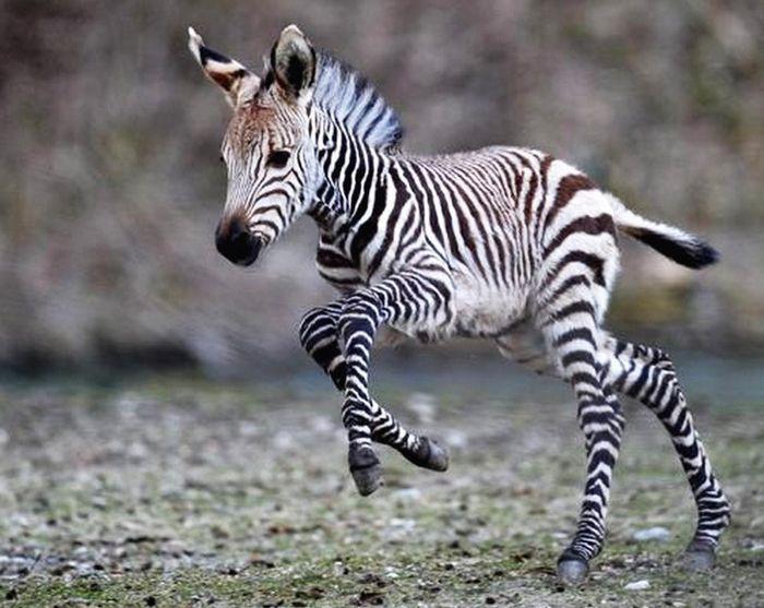 Детеныши зебры весь первый год жизни находятся не только под присмотром матери, но и под защитой доминантного самца.