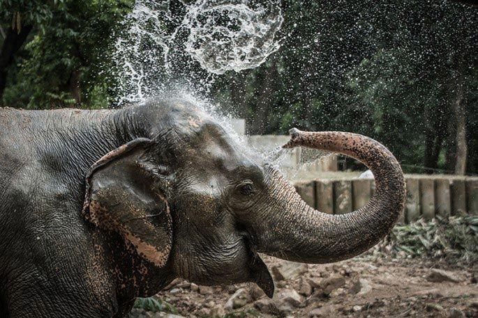 Слон Нингнонг добро, животные, спасение