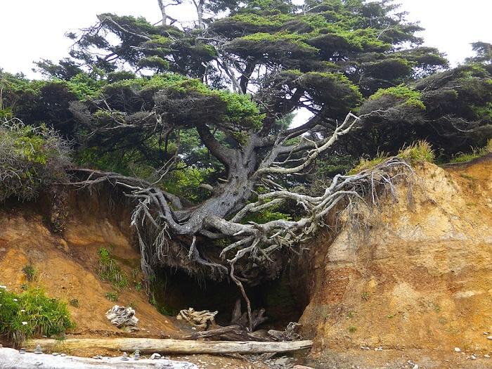 Дерево демонстрирует то, как деревья умеют приспосабливаться и выживать даже в самых экстремальных и неблагоприятных условиях!