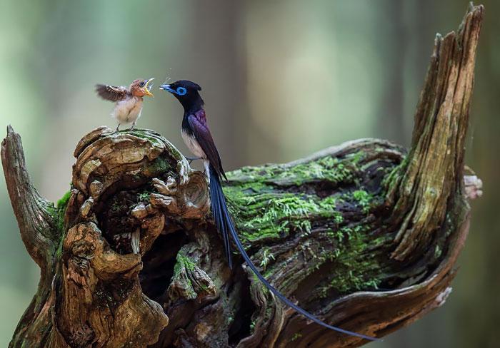 Тенистые вечнозеленые леса Японии, Южной Кореи и Тайваня служат домом райской мухоловке.