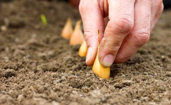 высаживаем севок Центурион