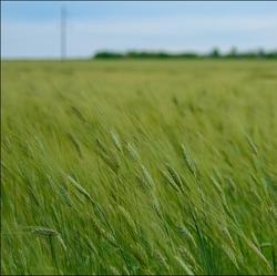 Фотопрогулки. Пшеничные волны