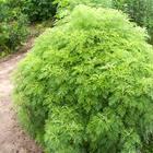 Укропное дерево — выращивание и фото растения