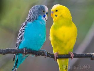 Озорные попугайчики