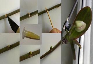Применение цитокининовой пасты для размножения орхидей