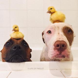 Великолепная четрверка: собаки, которые заботятся о двух утятах