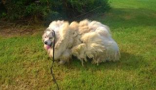 Спасительная стрижка: пса вернули к жизни, избавив его от 16 кг шерсти