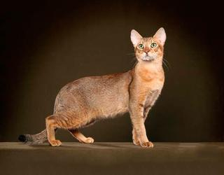 Интересное о породе кошек чаузи