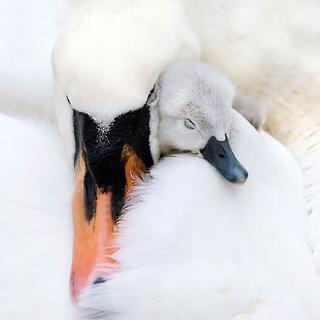 Птицы-родители