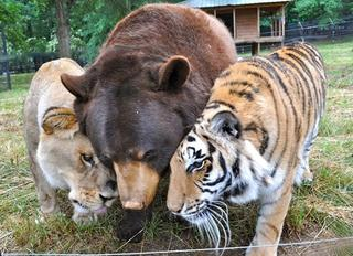 Как подружились тигр, лев и медведь