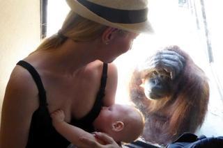 Как орангутанги морально поддержали кормящую мать