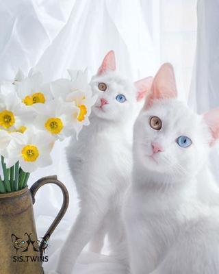 11 фотографий очаровательных кошек-близнецов с гетерохромией