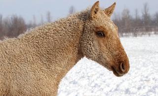 Удивительная кучерявая лошадь