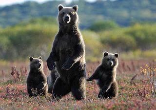 Зачем медведь поднимается на задние лапы?