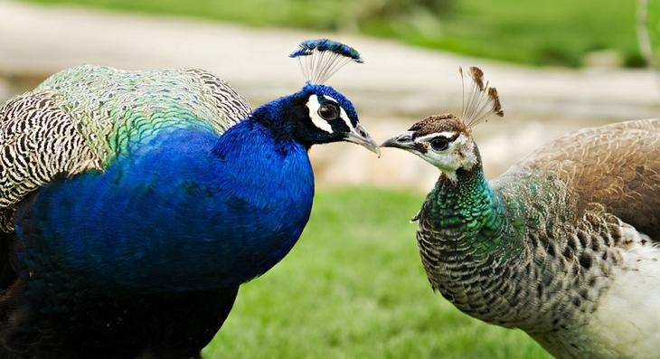 Самец и самка павлина. Фото