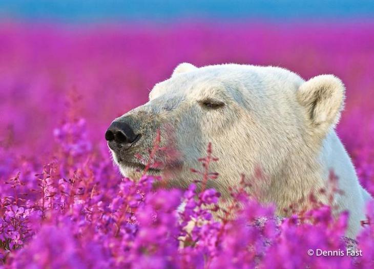 полярный медведь в цветах, белый медведь в цветах, Дэннис Фаст, Dennis Fast