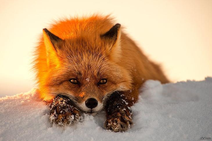 Fox-релакс животные, лисы, релакс