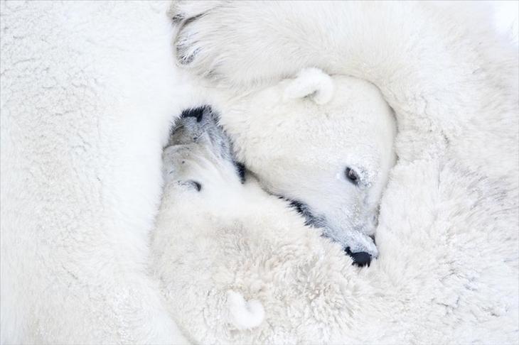 Чтобы сделать эти фотографии с полярными медведями, потребовалось 117 часов ожиданий в 50-градусный мороз животные, медведь