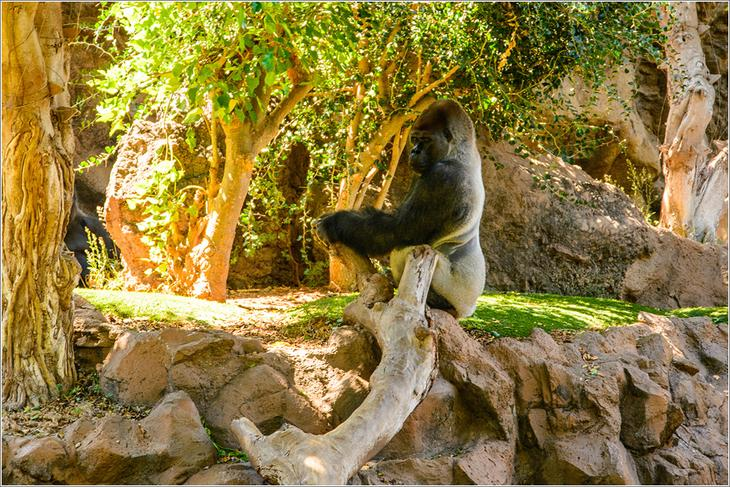 Горилла. Лоро парк на Тенерифе. Испания. Фото достопримечательностей Тенерифе