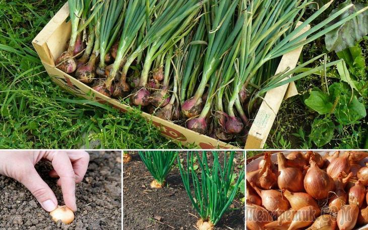 Выращивание лука в северных регионах 50
