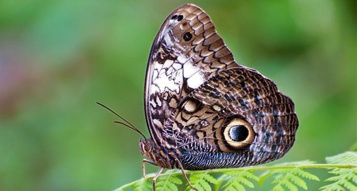 Бабочка с удивительным коконом