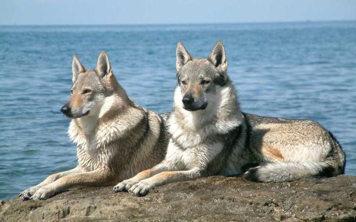 10 необычных пород собак и кошек волк, животные, коты, породы, собаки