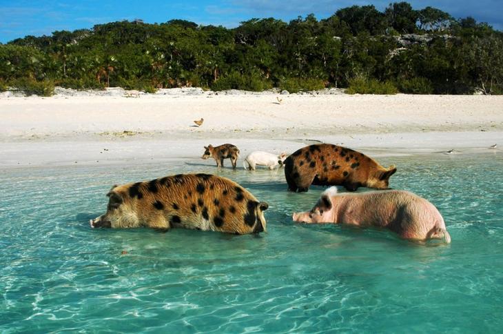Весь день по этой проклятой воде туда-сюда, вот бы в грязи поваляться..) животные, нечего делать, прикол, приуныл