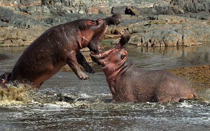 Разборки бегемотов в Танзании