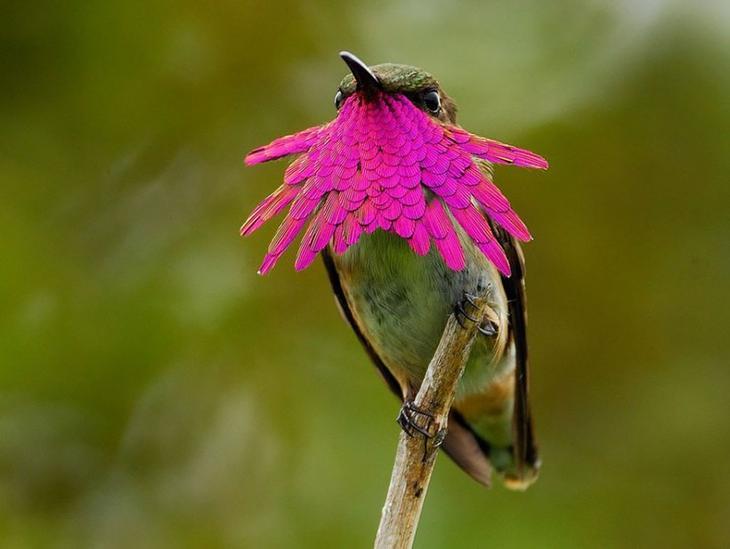 Колибри Atthis ellioti