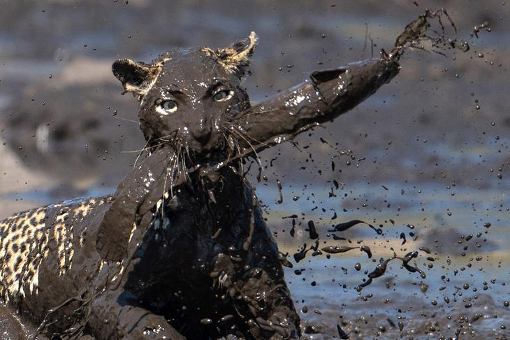 леопард в Ботсване
