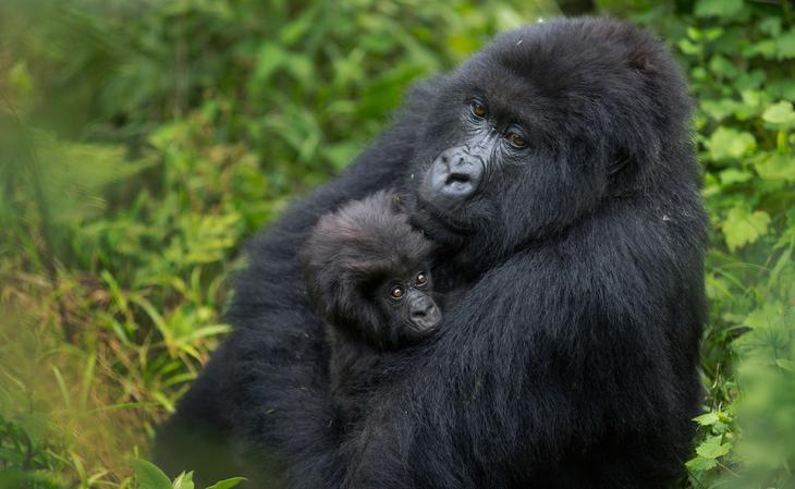 Горные гориллы из Руанды: этих удивительных животных осталось очень мало