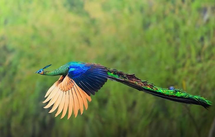 Красивое фото - павлин летит