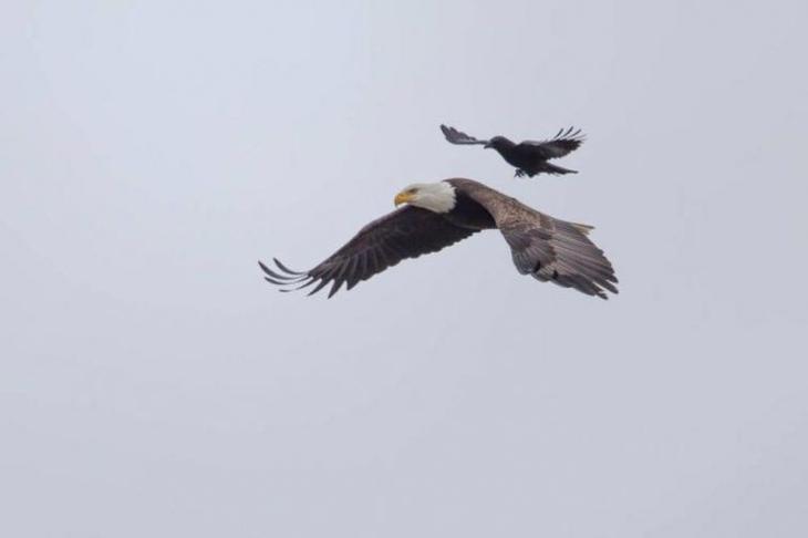 ворона села н аорла, ворон сел на орла в полете, приорлилась, ворона села на орла в полете
