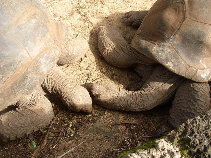 гигантские черепахи острова Маврикий. Фото
