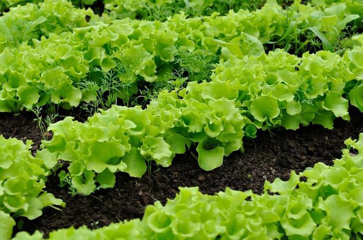 Выращивание салатов и их сорта 894