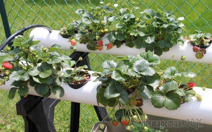 Способы выращивания клубники круглый год 9
