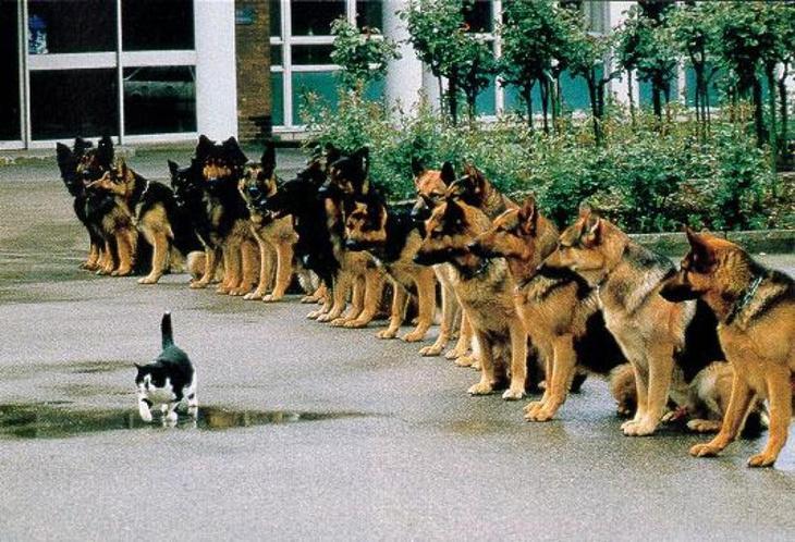 Я даже не знаю что на этой фотографии больше достойно восхищения: безудержная смелость кота или феноменальная выдержка собак? верь в себя, прикол, юмор