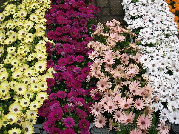 Цветы остеоспермум посадка и уход