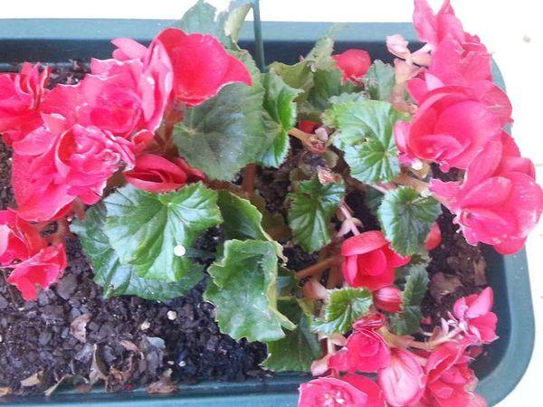 В период цветения удобрения вносятся 1 раз в 2 недели